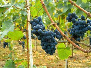 พันธุ์องุ่นทำไวน์ สำคัญอย่างไร