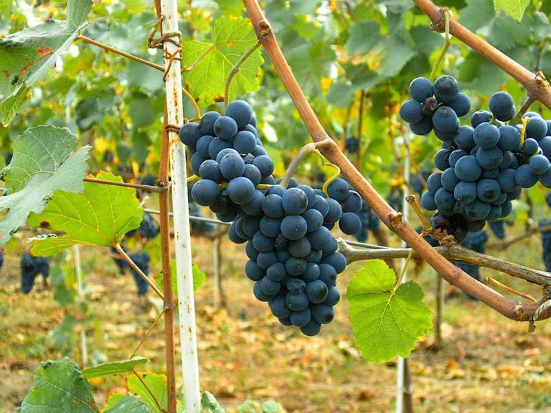 Pinot_Noir_Moldova